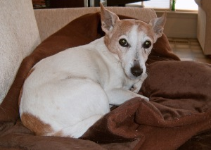 Rosie, our Jack Russell