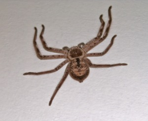 Wolf Spider (I actually took this photo when we lived in northern New South Wales where we'd see similar huntsman and wolf spiders)